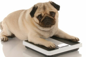 Is your pooch too pudgy for his own good?