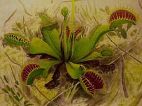 A Venus Flytrap from California Carnivores