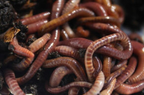 Red wigglers are considered by many to be the best compost worms. How many pounds do you need?