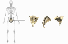 The coccyx, shown here with the sacrum. Vestigial or not vestigial?