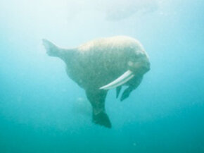In the water, walruses are practically ballerinas. See more pictures of marine animals.