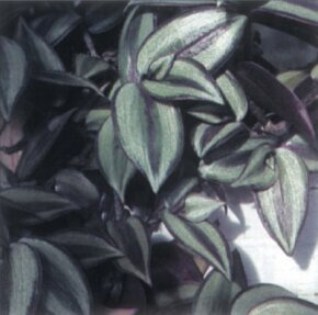 Houseplants Image Gallery Wandering Jew plant is a type of house plant. Leaves have stripes in a variety of colors. See more pictures of houseplants.