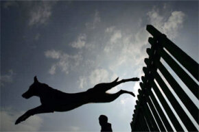 Many countries rely on military working dogs, including China. Here, one leaping canine trains at a Chinese base. The base provides military working dogs for army, police, custom, airport and other facilities and institutions.