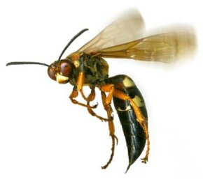 Wasps' stingers are loaded with very potent venom, and unlike honeybees, wasps can sting a victim multiple times.