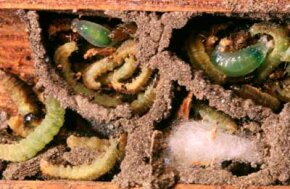 Mason wasp larvae awaken to a delicious feast of paralyzed grubs inside their clay cylinders.