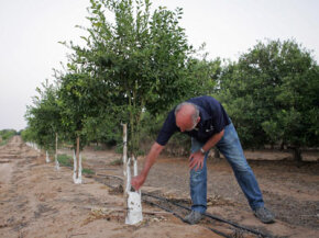 Farmer Arye Shrayber checks his lemon trees in Kibbutz Nirim, Israel. The country is coping with a water shortage by using recycled wastewater for irrigation.