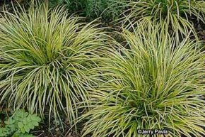 Sweet flag is a water-loving perennial used mainly as an accent in water gardens.