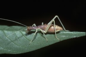 "A nymph ""thermometer cricket"""