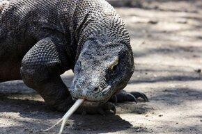 Witness the Komodo dragon's self-seduction.