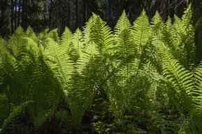 Older, wiser ferns control other ferns' sex lives in the interest of maintaining diversity.