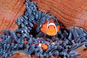 Nemo becomes Nema when the lone female clownfish disappears from their comfy sea-anemone home.