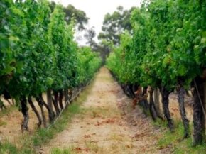 Australia is currently responsible for approximately 5 percent of the world's wine market. See more wine pictures. ­