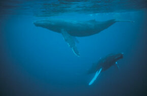 Whale sleep patterns are different from land mammals in that they are never really unconscious when they sleep.