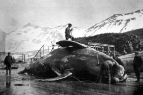 Workers begin to dissect the carcass of a whale caught in Antarctica in 1935.