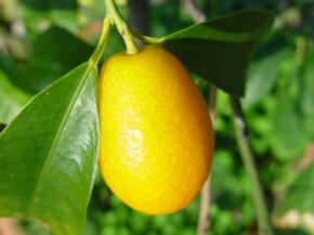 Kumquats are high in vitamin C. See more pictures of fruit.