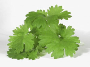 Cilantro is used in Asian, Mexican and Indian dishes. See more culinary herb pictures.