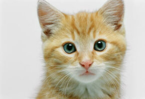 A cat's whiskers are so sensitive that they can detect the slightest directional change in a breeze. See more pictures of cats.