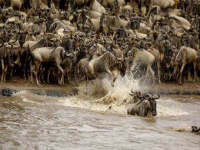 Crossing rivers during the annual wildebeest migration in Africa often results in casualties. See more African animal pictures.