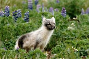 Arctic fox (alopex lagopus) are among the small game found in Alaska.