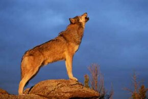 Wolves howl to communicate over long distances.