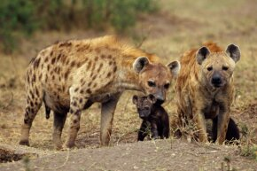 This mother hyena has already taken care of the tricky birthing process. Now all she has to do is protect her young.