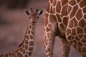 It's a hard-knock life, little giraffe.