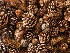 Pinecones are incredibly versatile crafting items.