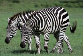 When all the zebras keep together as a big group, the pattern of each zebra's stripes blends in with the stripes of the zebras around it. See more pictures of African animals.
