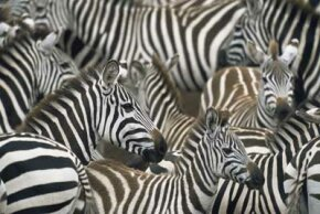 "Animal Camouflage Image Gallery Per­haps Michael Jackson was thinking of zebras when he wrote the song ""Black or White."" See more pictures of animal camouflage."