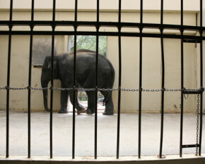 Elephants forced to stay indoors often succumb to debilitating boredom and severe foot problems.