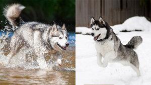 """什么是阿拉斯加雪橇犬和赫斯基之间的区别?""""。"""" border="""