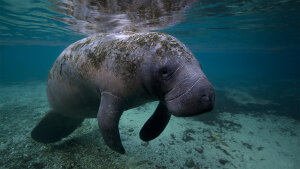 It's a Manatee's Life: Swim, Eat, Rest, Repeat