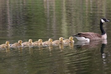 This mother goose was clearly in the right place at the right time to get her babies to bond with her and recognize her as their mom.