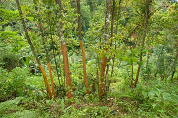 Cinnamon trees are cut down to stump size when they're around two years old.