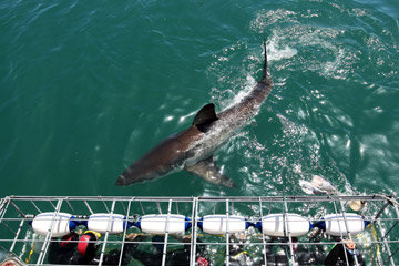A great white shark swims by a cage in Gansbaai, South Africa, one of the most popular shark-viewing spots in the world.