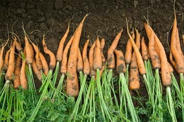 If you're gardening to save money, some things -- like carrots -- might not be worth your while because they're so difficult to grow (and inexpensive in markets).