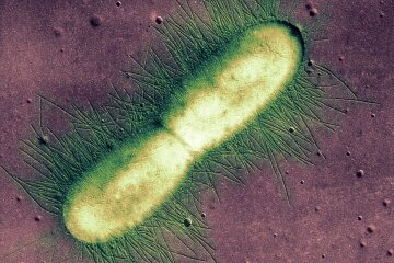 An E. coli bacterium is captured in the early stages of binary fission, or splitting into two identical cells.