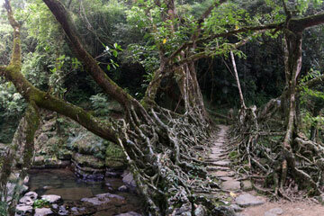 A living root bridge crosses a creek in Meghalaya, India.