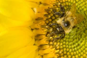 Getting all of your subject, such as this bee, in the photo is important to composition in macro photography.