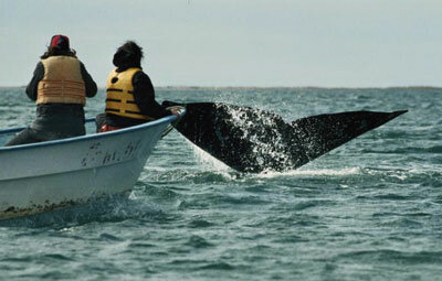 Tracking whale migration is one of the options Earthwatch volunteers have.
