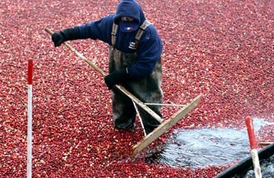 Cranberries must be very hardy to thrive in a place as filthy as a bog. See more pictures of fruit.