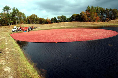 Harvest at the Weston Cranberry Farm in Carver, Mass.