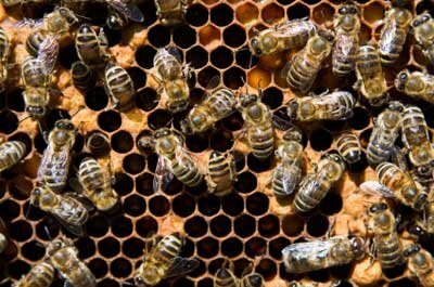 Typically, worker bees are quite industrious, so what makes them decide to take a hike -- possibly to that great beehive in the sky -- all of a sudden?