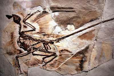 A fossil of a Microraptor from a 130-million year old forest that existed in what is now Liaoning Province, China is displayed at the American Museum of Natural History in New York City. See more dinosaur pictures.