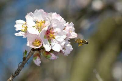 The next time you enjoy some delicious almonds, take a minute to consider the hard-working bees that pollinate almond tree blossoms. See more insect pictures.
