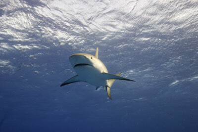 "A reef shark in Nassau, Bahamas, during the filming of Discovery Channel's ""MythBusters."" See more shark pictures."