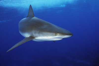 Is this reef shark swimming for its life? See more shark pictures.