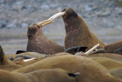 Two walruses fight for dominance.