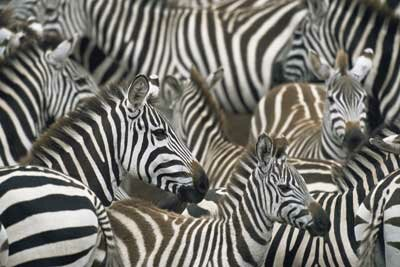 """Animal Camouflage Image Gallery Perhaps Michael Jackson was thinking of zebras when he wrote the song """"Black or White."""" See more pictures of animal camouflage."""