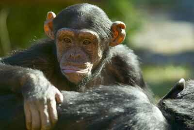 Some scientists believe that chimpanzees are evolving in the wild.